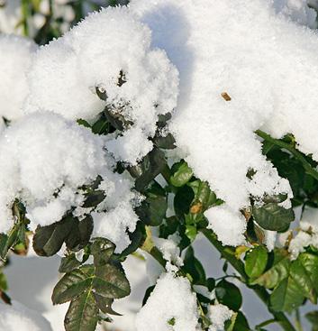 schneebedeckte-zweige
