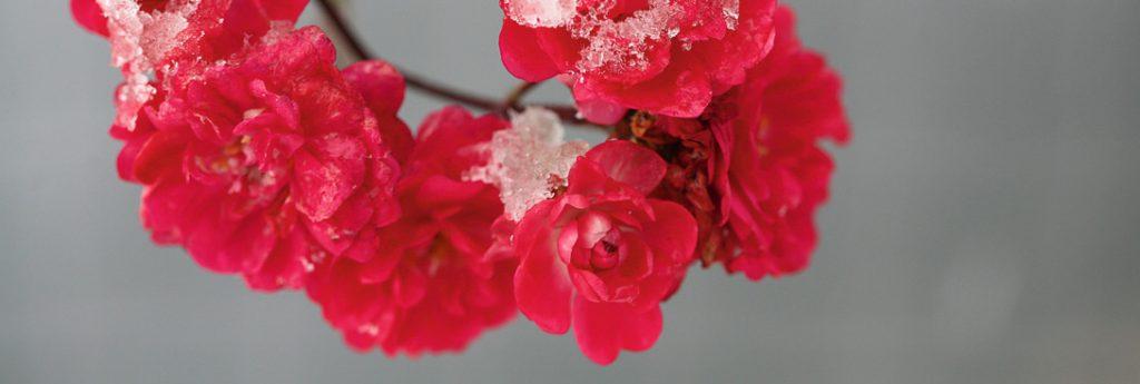 Schneedecke auf pinken Rosenblüten