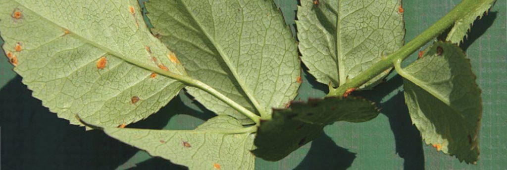 Rosenrost = kleine rötlich-bräunliche Punkte am Blatt