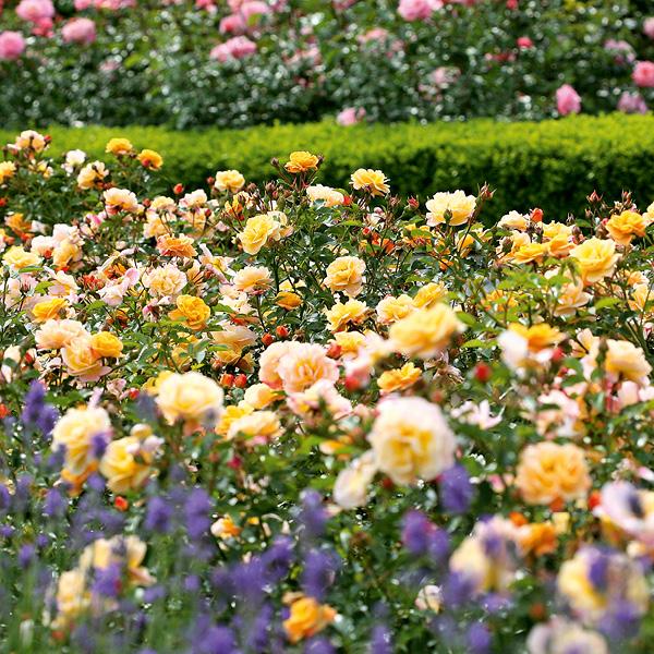 Blütenmehr bunter Rosenbüsche
