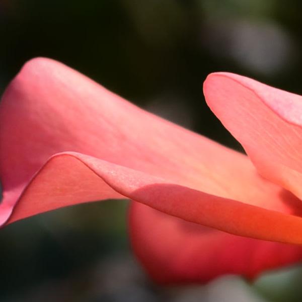 pfirsichfarbenes Blütenblatt