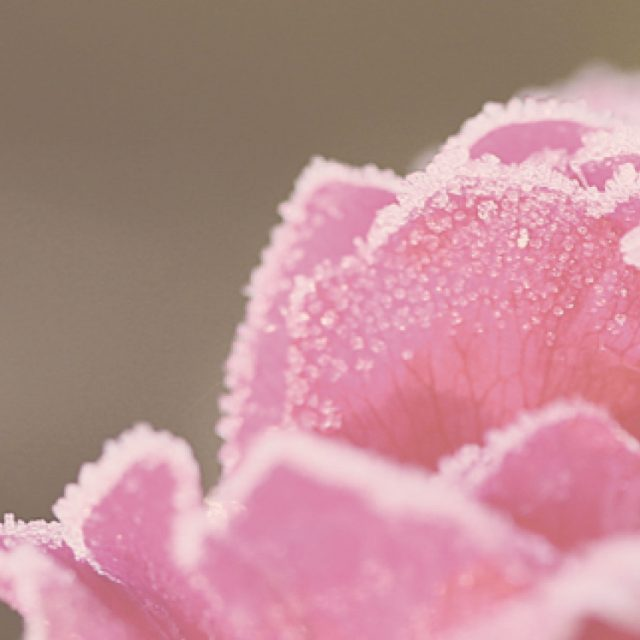 Frost auf pinken Rosenblüten